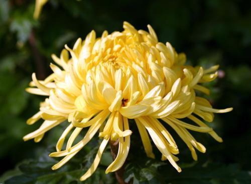 趣味测试:选出你最喜欢的一朵菊花?测你近期会遇到什么惊喜?